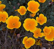 California poppies- Montana de Oro by David Chesluk