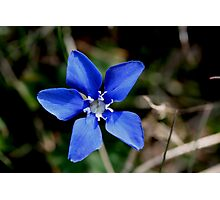 Spring Gentian Photographic Print