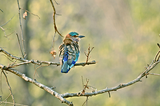 The Indian Roller  by vawtjwphoto