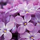 Sweet Lilac by shalisa