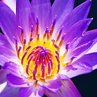 Water Lily Flower by Trudy LeDoux