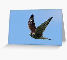 American Kesrel on the Hunt Greeting Card