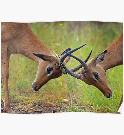 Locking horns Poster