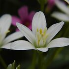 Little Wildflowers, Star Of Bethlehem by WildestArt