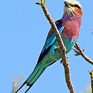 Another pretty colorful roller by jozi1