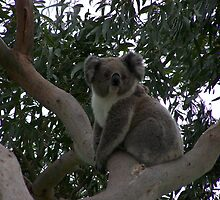Koala at Kingsvue by Matthew Sims