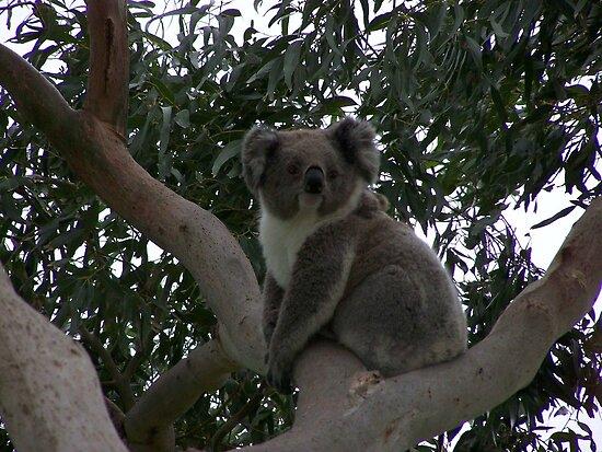 Koala at Kingsvue by Matthew Sims