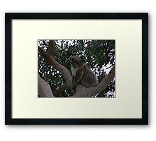 Koala at Kingsvue Framed Print