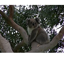 Koala at Kingsvue Photographic Print