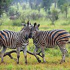 Zebra buddies by Explorations Africa Dan MacKenzie