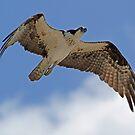 A soaring osprey by jozi1