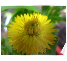 Shining Strawflower Poster