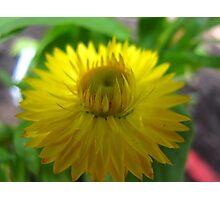 Shining Strawflower Photographic Print