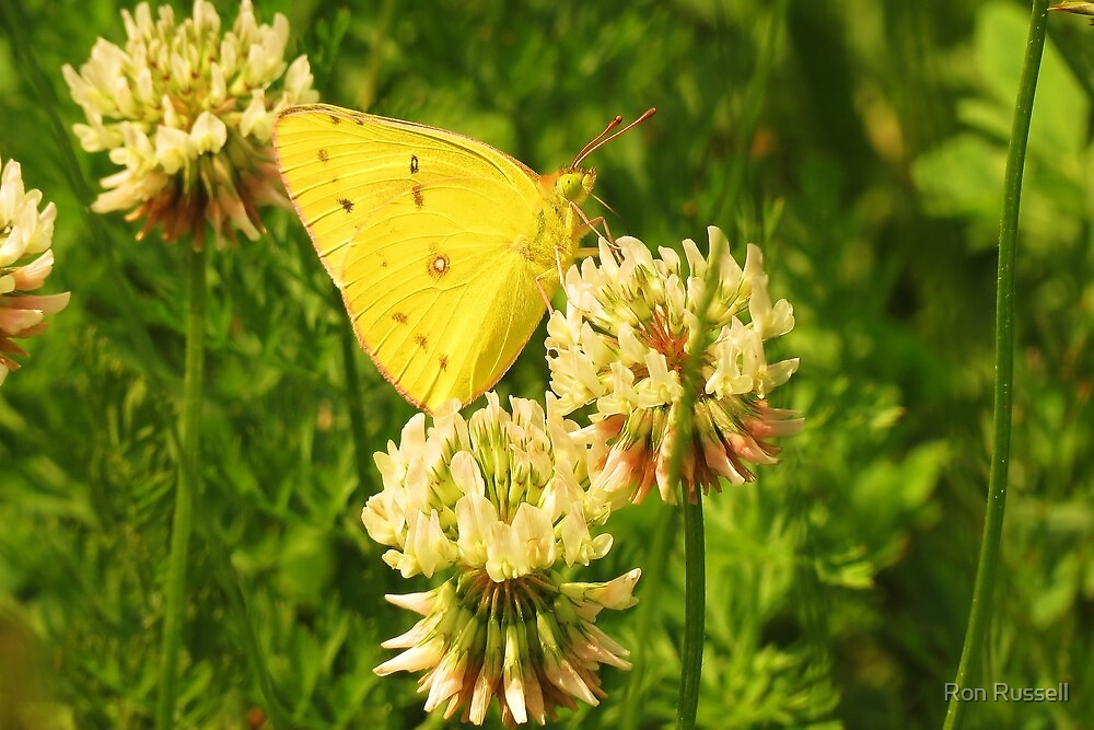 Yellow Sulphur on White Clover by Ron Russell