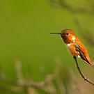 Rufous Hummingbird by BCkat