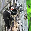 Pileated Woodpecker Feeding Chick by Raider6569