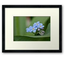 Forget-me-not on green Framed Print