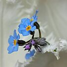 Forget-me-not on white by BCkat