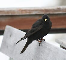 Alpine Chough On Bench by ellismorleyphto