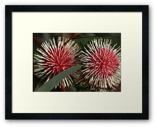 Pincushion Hakea, by Joy Watson