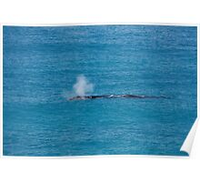 Southern Right Whale Nullarbor Poster