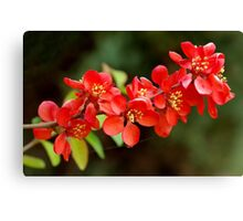 Japanese Quince branch Canvas Print