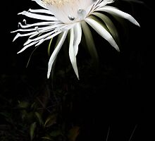 Acanthocereus Bloom by Mario Morales Rubi