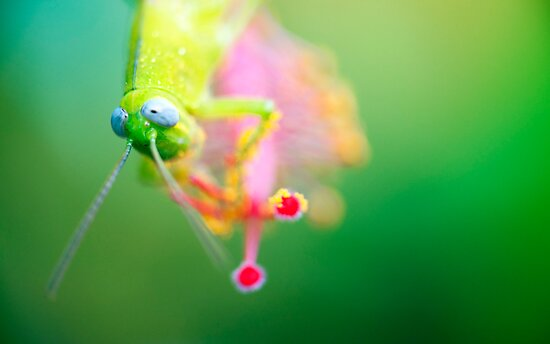 Boggly Eyes - grasshopper on hibiscus by Jenny Dean