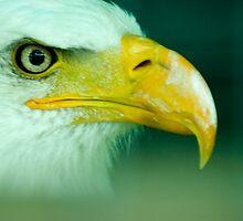 Portrait of a Bald Eagle by Bryan Shane
