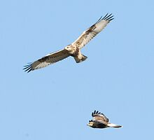 Two Rough Legged Hawks on the Hunt by Bryan Shane