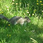 Grey Squirrel by mike  jordan.