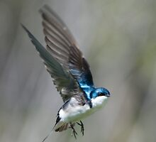 Tree Swallow in Flight by Bryan Shane