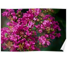 From Home - Crepe Myrtle, Indian Summer Poster