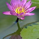 Water-Lily Reflection by DarthIndy