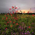 Wild Columbine At Sunrise by Charles & Patricia   Harkins ~ Picture Oregon