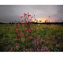 Wild Columbine At Sunrise Photographic Print