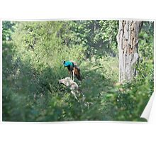 The Peacock -Ranthambore India Poster