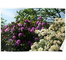 Rhododendron & Azalea Poster