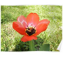 Red Tulip Flower Poster