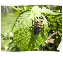 Bumble bee On Rasberry Leaf Poster