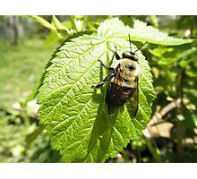 Bumble bee On Rasberry Leaf Photographic Print