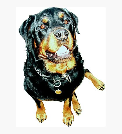 Rottweiler Photo Portrait Photographic Print