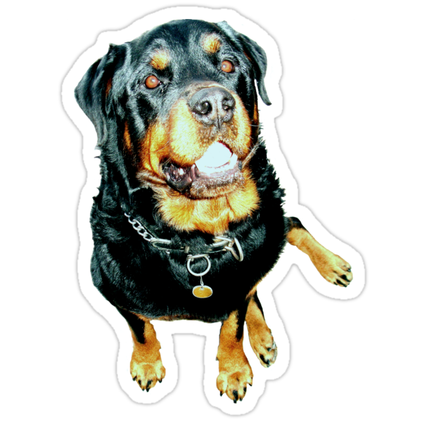 Rottweiler Photo Portrait by taiche