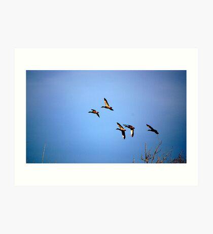 Mallards in Flight II Art Print