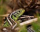 Male Sand Lizard by Neil Bygrave (NATURELENS)