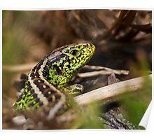 Male Sand Lizard Poster