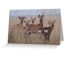 Sika Deer Greeting Card