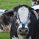 English Longhorn - Paddington Meadows by Chris Monks