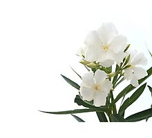 White Oleander Flowers Close Up Isolated On White Background  Photographic Print