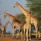Elegant giants by Explorations Africa Dan MacKenzie